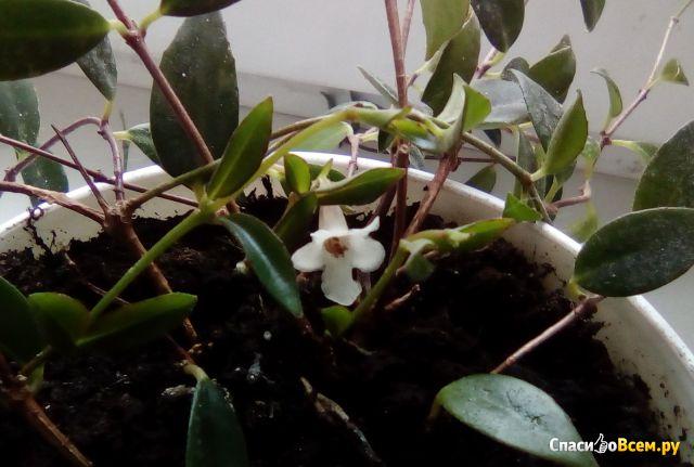Комнатный цветок Кодонанта фото