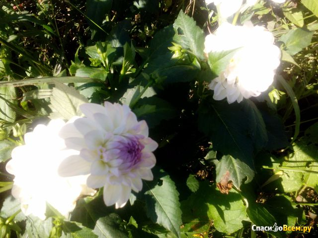 Цветок Георгин фото