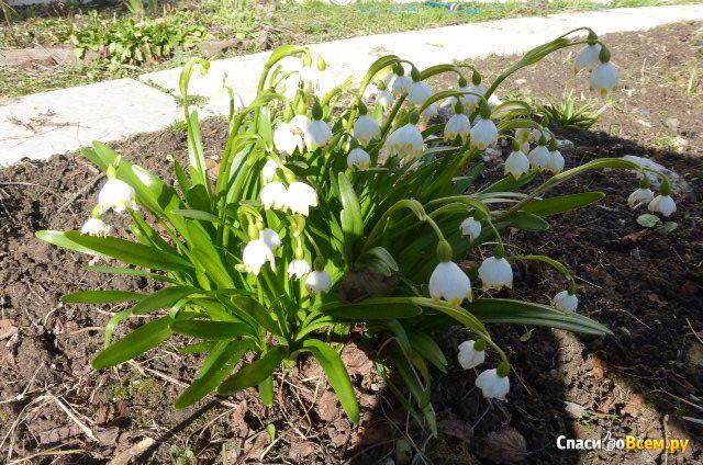 Цветок Белоцветник фото