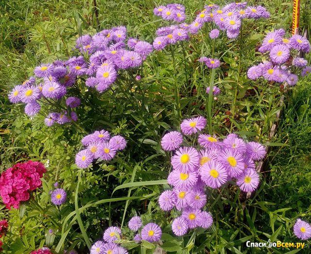 Цветок Мелколепестник фото
