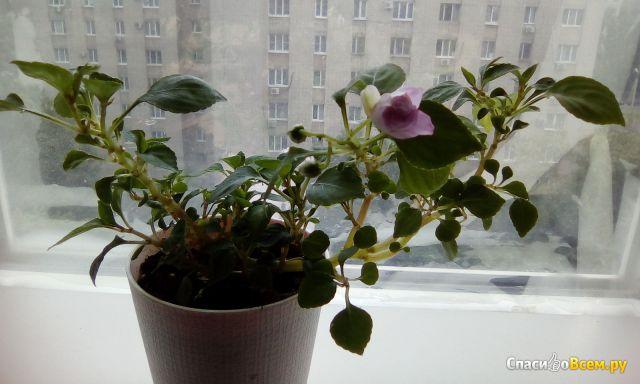 Комнатное растение Бальзамин  Уоллера (Мокрый Ванька) фото