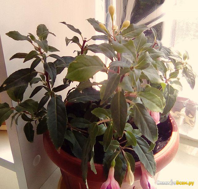 Комнатное растение Фуксия Coquet Bell фото