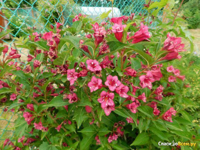 Растение Вейгела фото