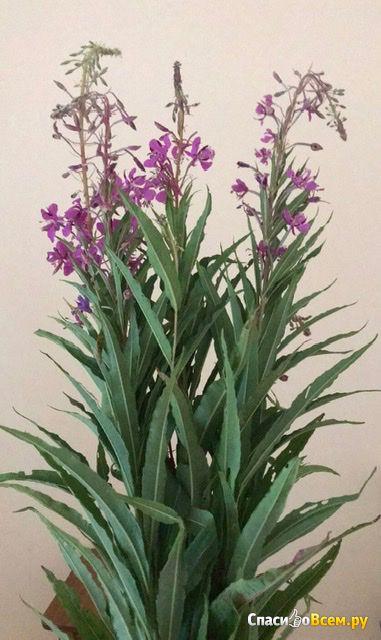 Растение Иван-чай фото