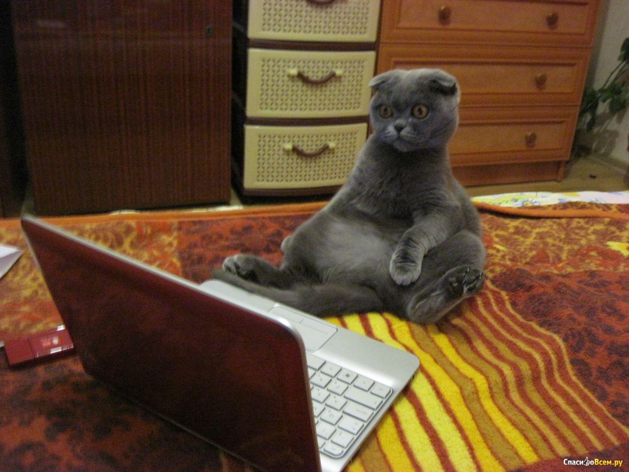 Фото как сидит шотландский кот