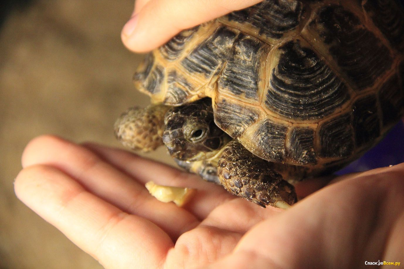 Сколько живут черепахи в домашних условиях 81