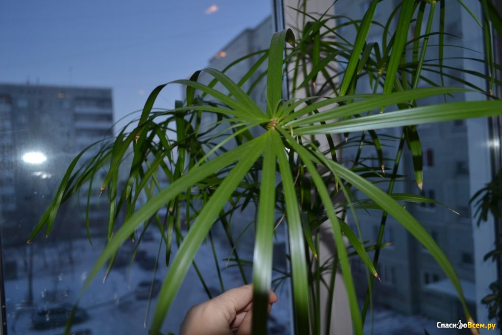 цветок фото папирус