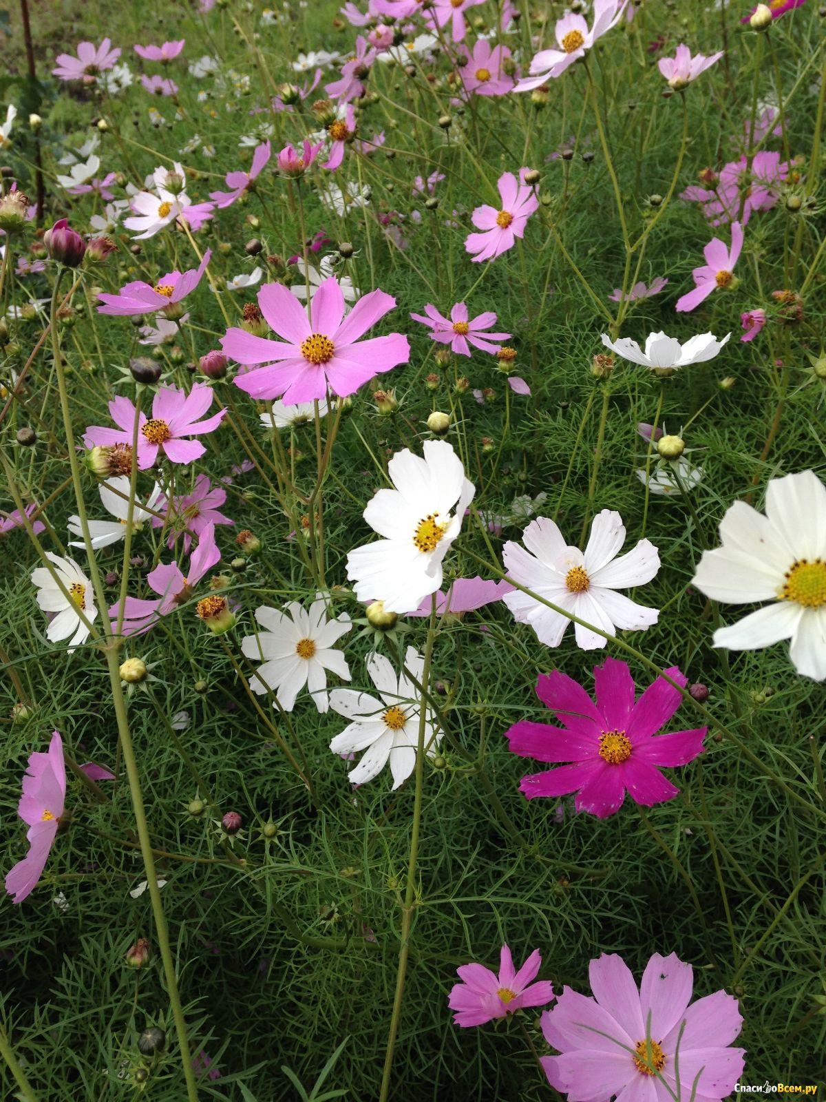 Космея, или Космос цветок: фото, выращивание и уход 78