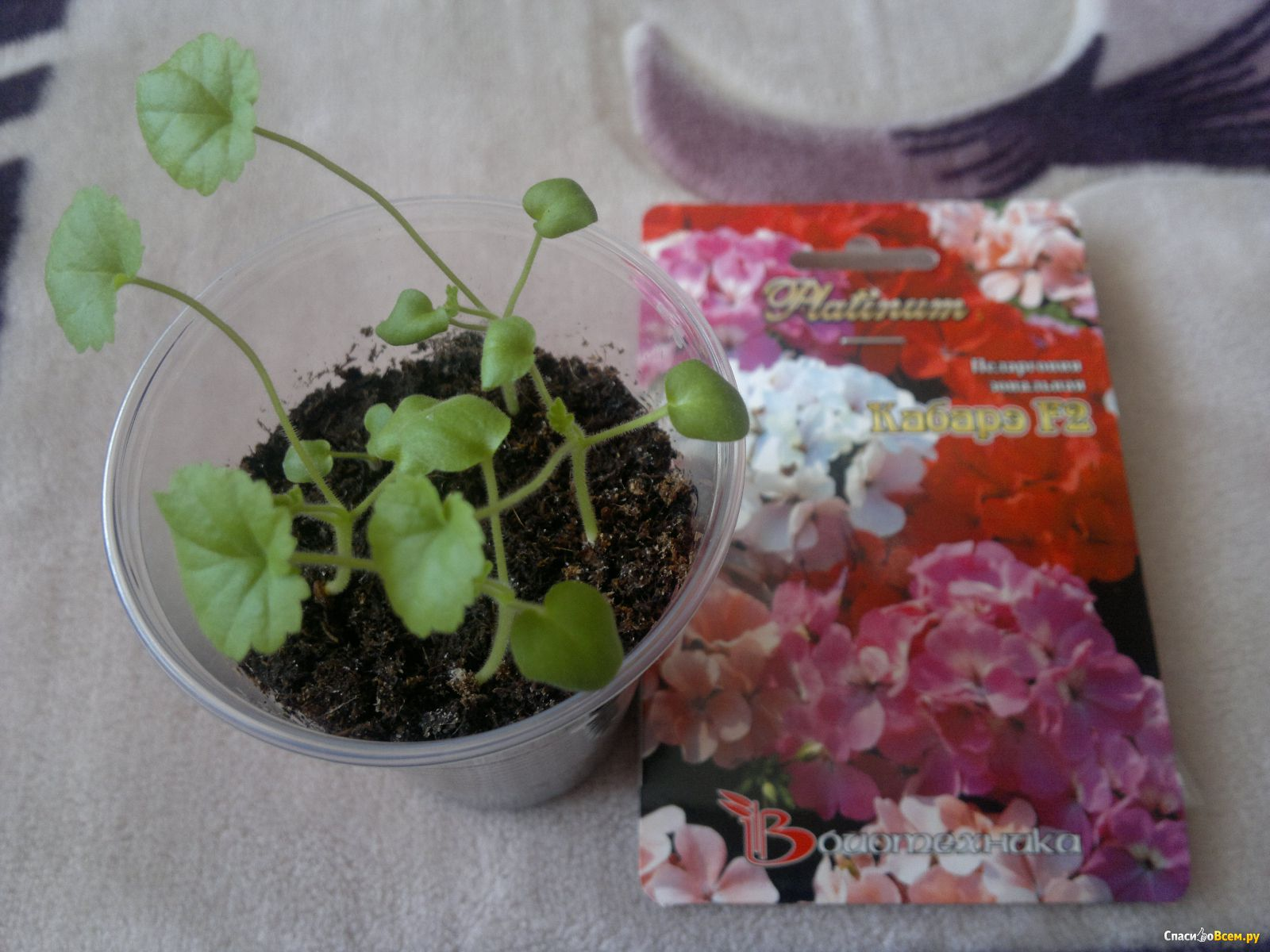 Выращивание герани из семян в домашних условиях с фото пошагово