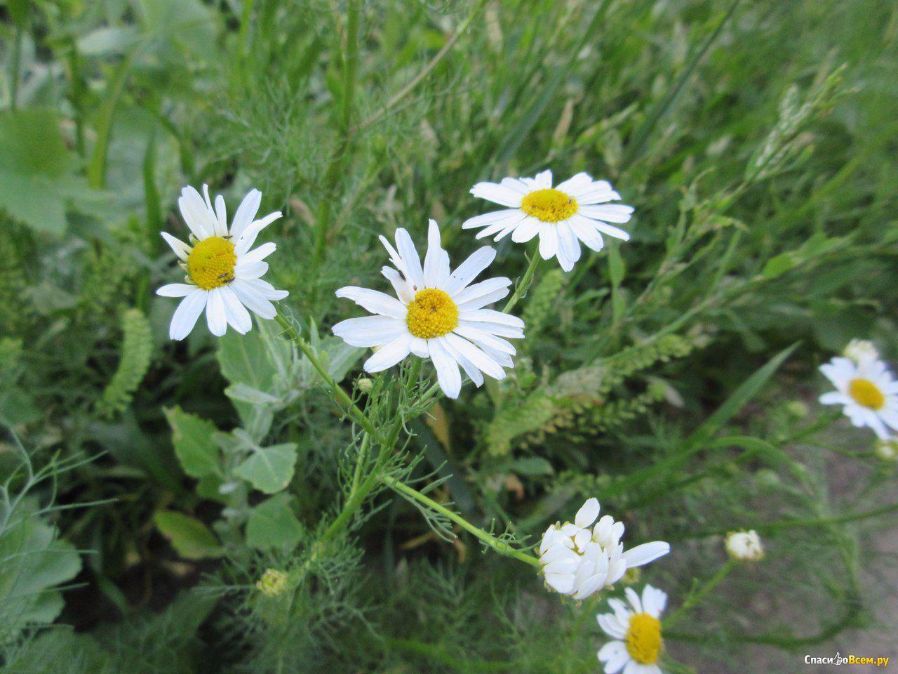 Ромашка цветок фото и описание