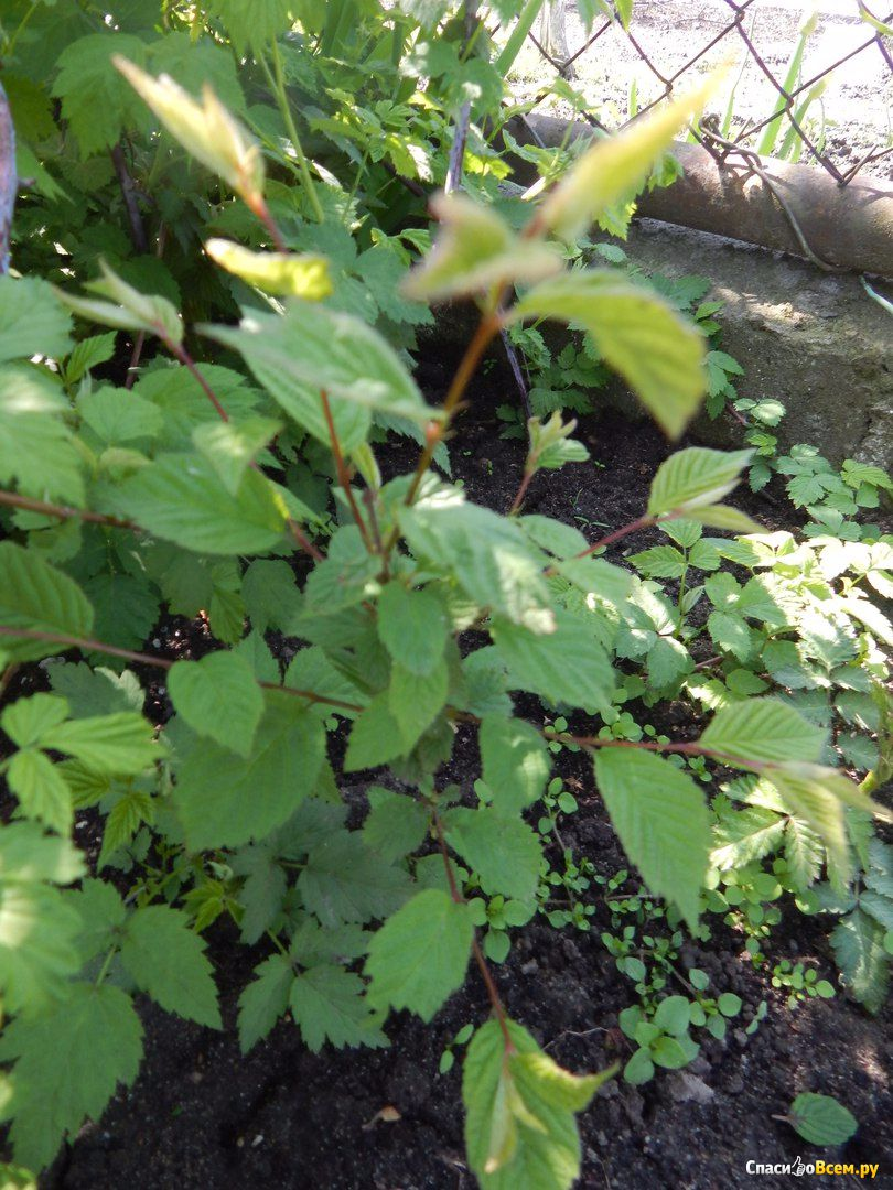 Войлочная вишня выращивание из косточек 69