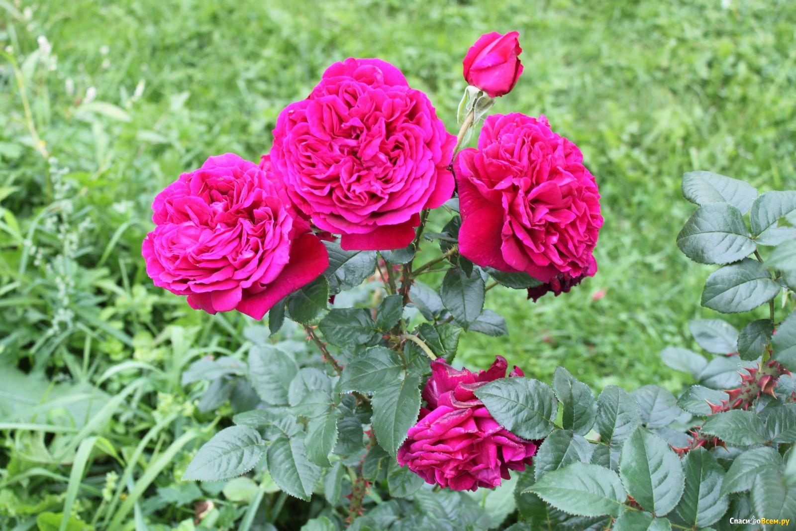 Статус про розу и шипы