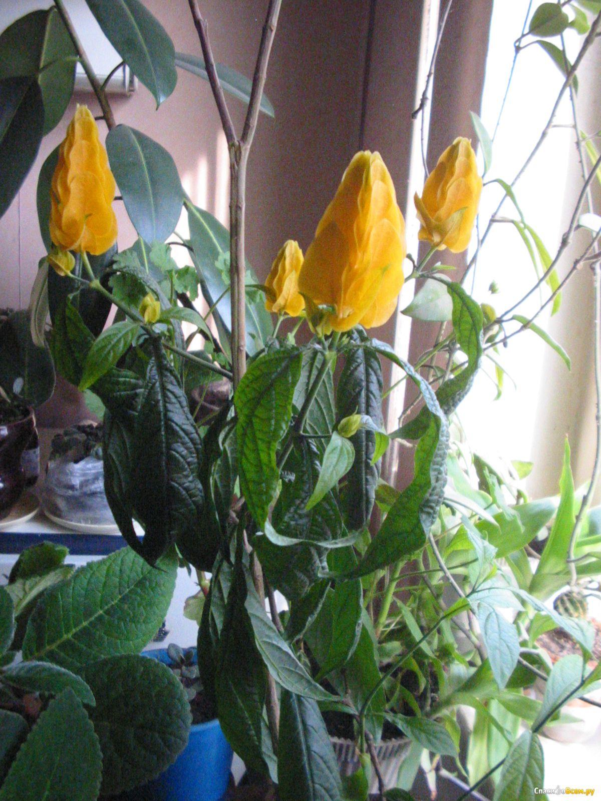 Все о комнатном цветке пахистахисе