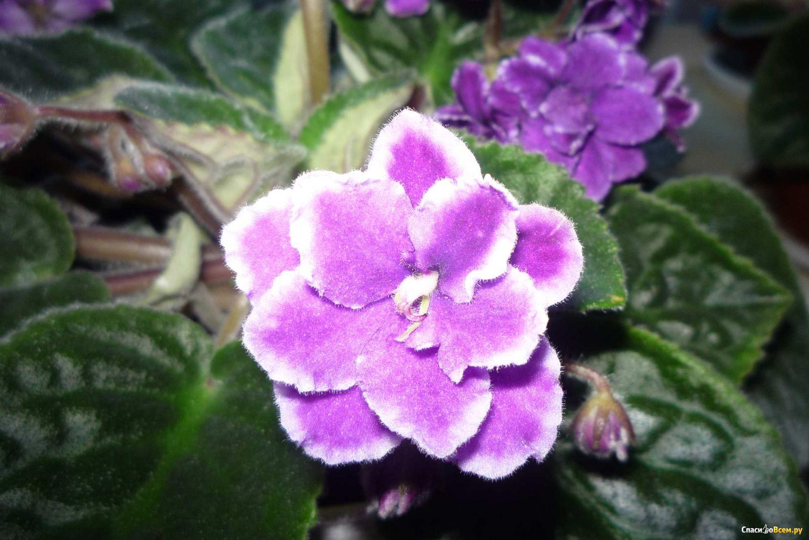 Что за цветок фиалка фото