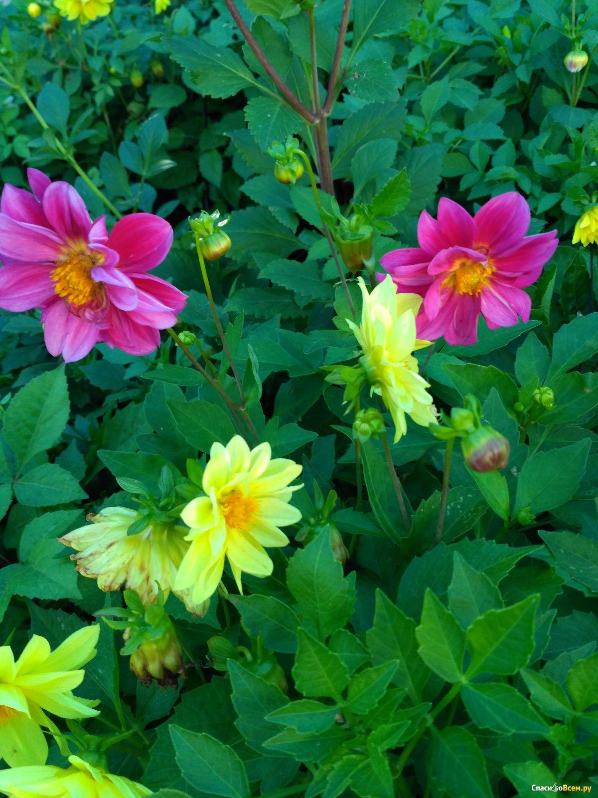 Однолетние георгины: выращивание из семян: посадка 51