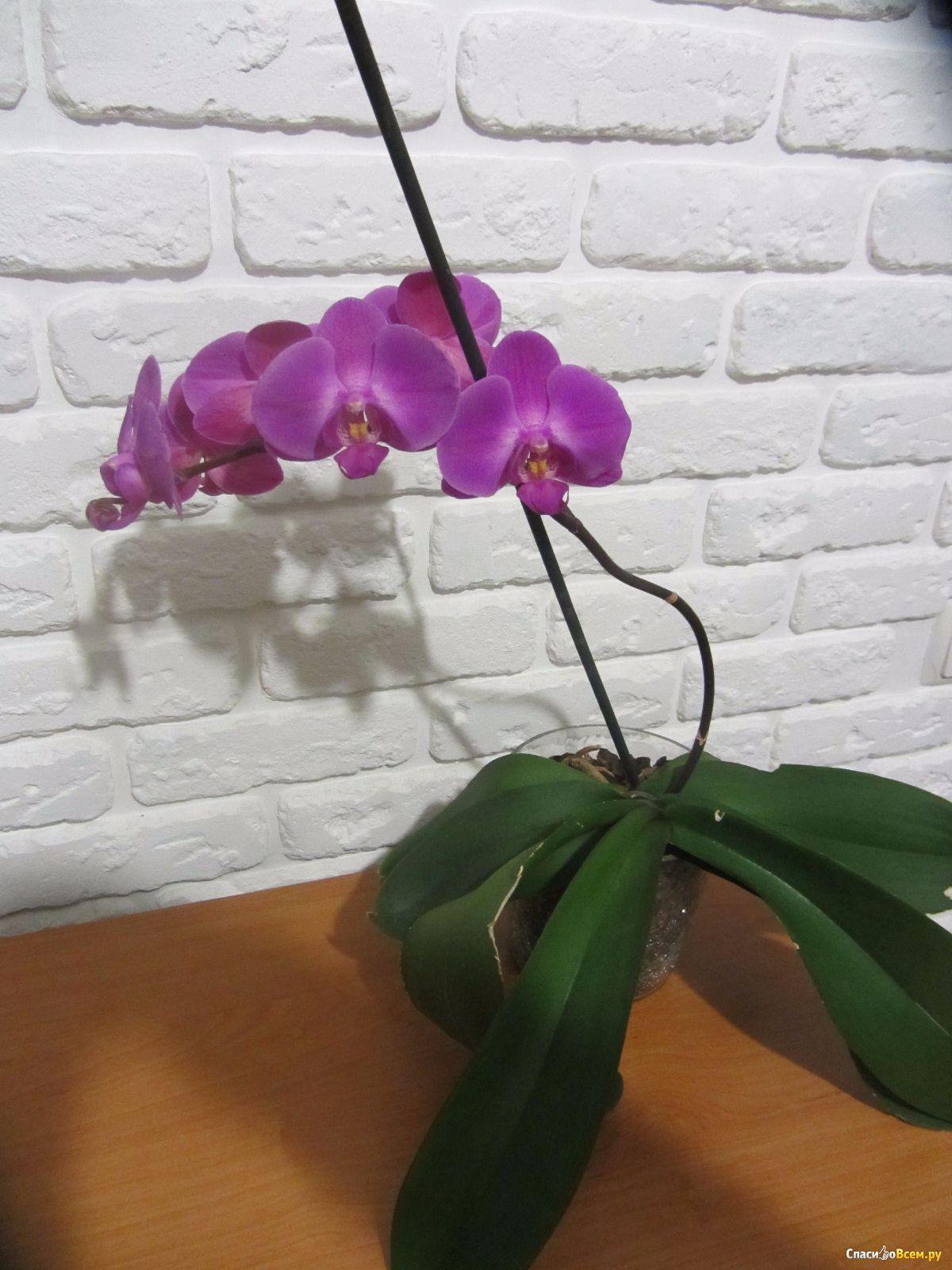 Цветы орхидеи фаленопсис фото