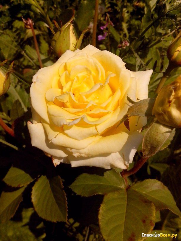 статус про розы