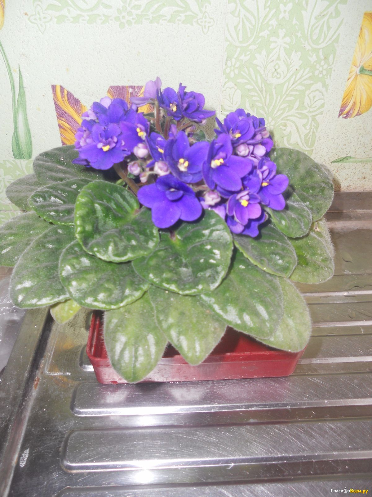 Фото комнатного цветка похожего на фиалку