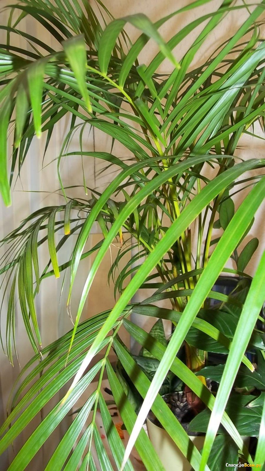 Пальма арека уход в домашних условиях фото