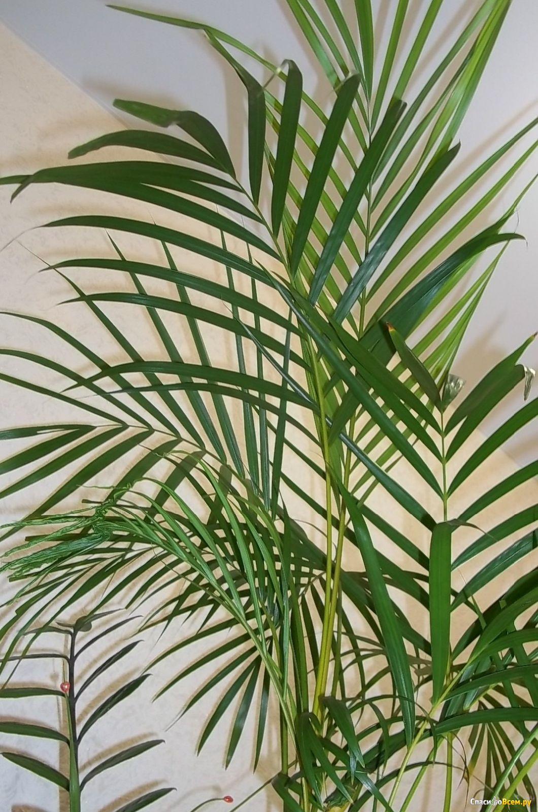 пальмовые комнатные растения фото с названиями колесникова верит, что