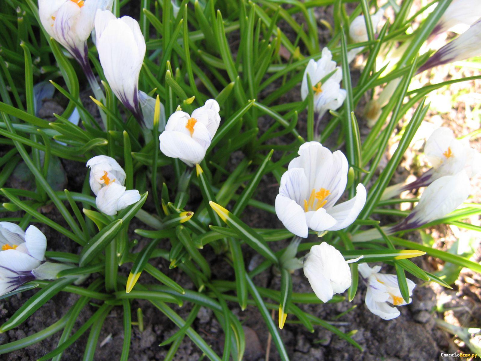 Крокусы фото цветы уход