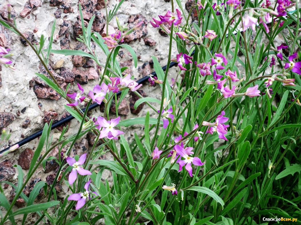 Матиола розовая ночная фиалка выращивание 56