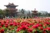 Фестиваль пионов (Китай, Хэнань, Лоян)