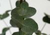Комнатное растение Эвкалипт