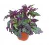 Комнатное растение Гинура плетистая