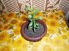 Растение Гранат комнатный