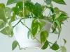 Комнатное растение Мужегон