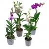 Комнатное растение Орхидея Дендробиум Фаленопсис