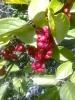 Растение Лимонник китайский