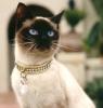 """Порода """"Сиамская кошка"""""""