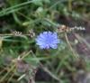 Растение Цикорий обыкновенный