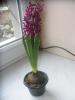 Цветок Гиацинт восточный