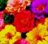 Цветок-однолетник Портулак