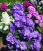 Цветок Левкой