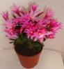 Растение Шлюмбергера