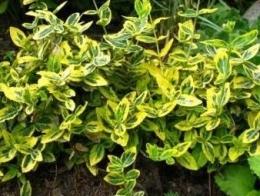 бересклет растение фото