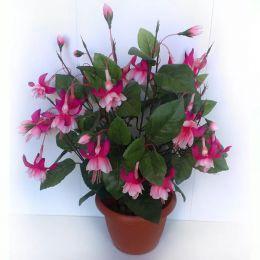 Комнатное растение Фуксия Coquet Bell