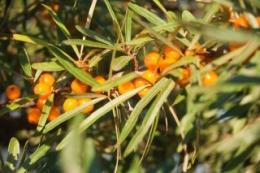 Растение Облепиха