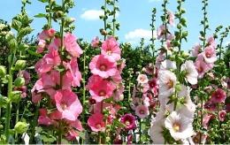 Цветок мальва шток роза отзывы