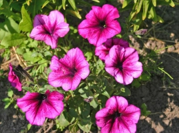 Садовый цветок Петунья