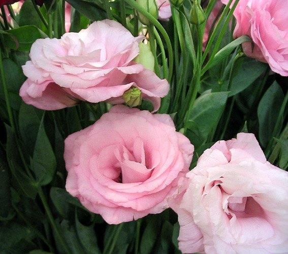 Цветы которые похожи на розы