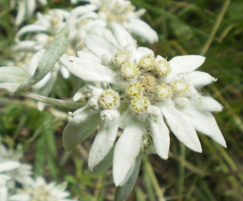 Альпийский цветок эдельвейс и его выращивание из семян в 88