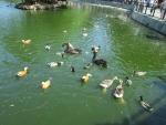 пруд с утками