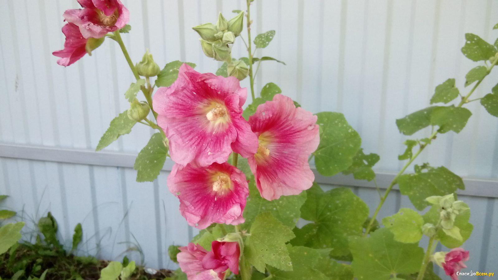 Мальвы шток роза фото цветы