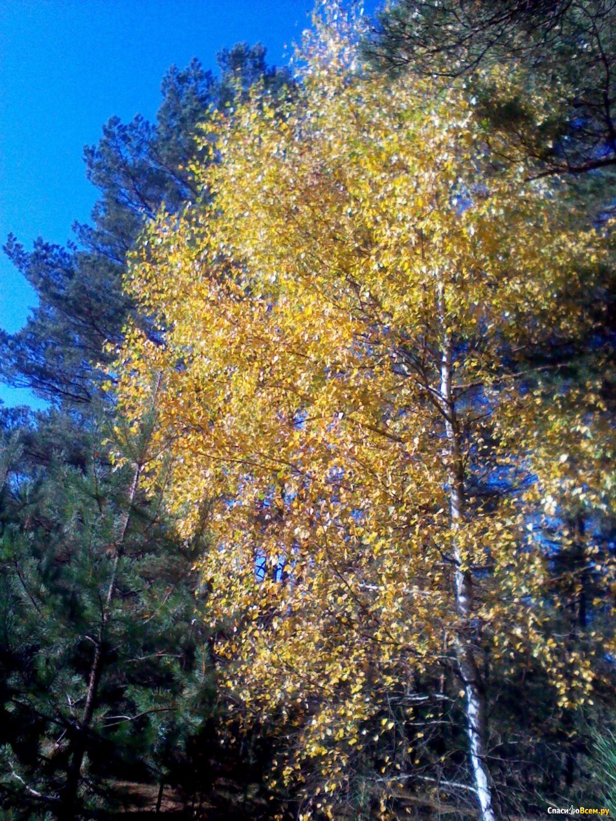 как выглядят листья березы