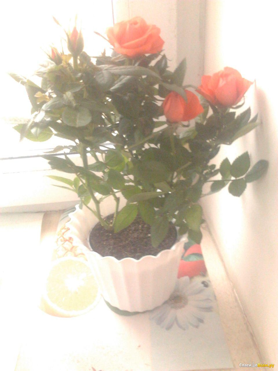 Фото розы кордана в домашних условиях